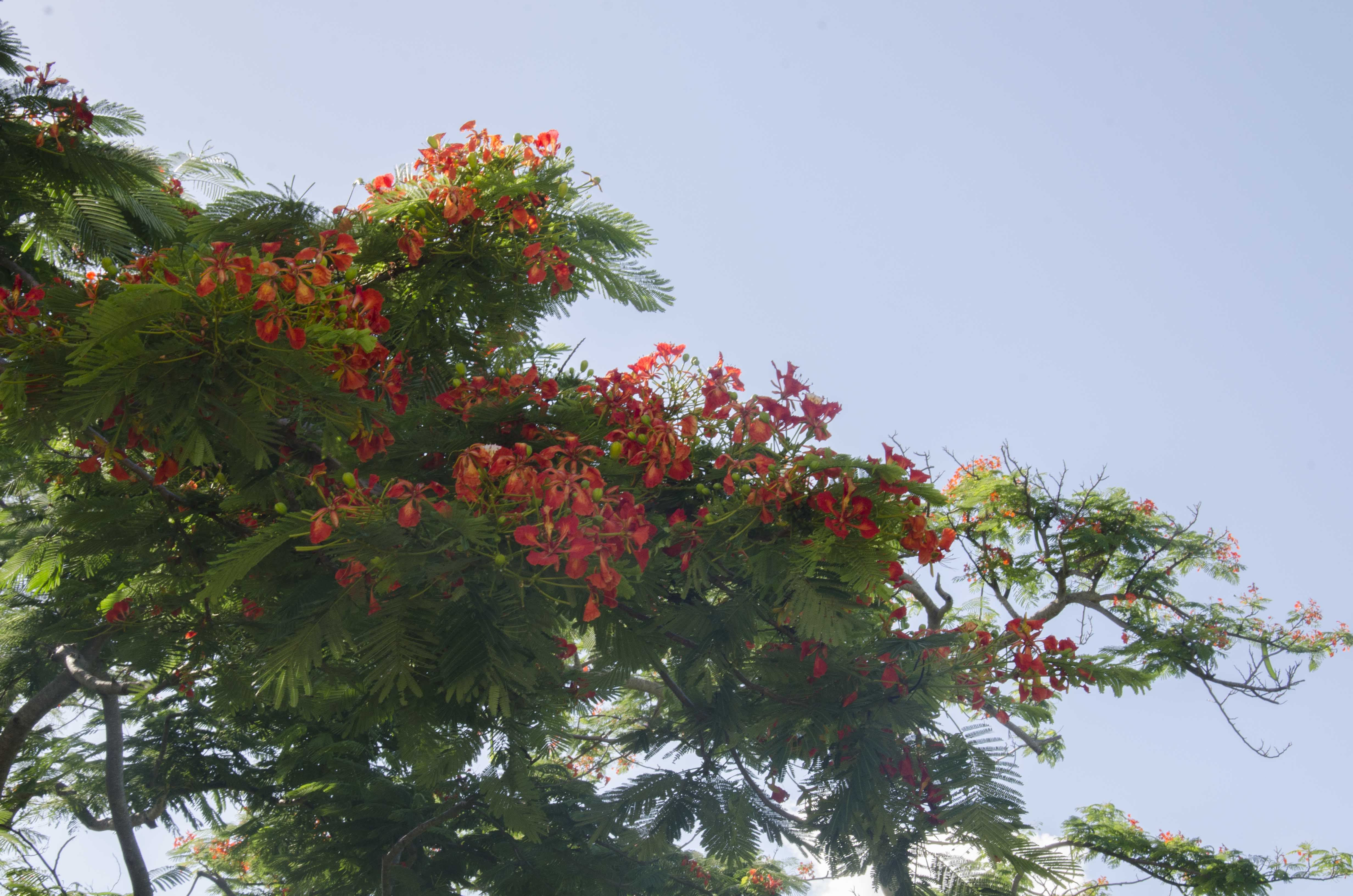 Lakeview poinciana tree