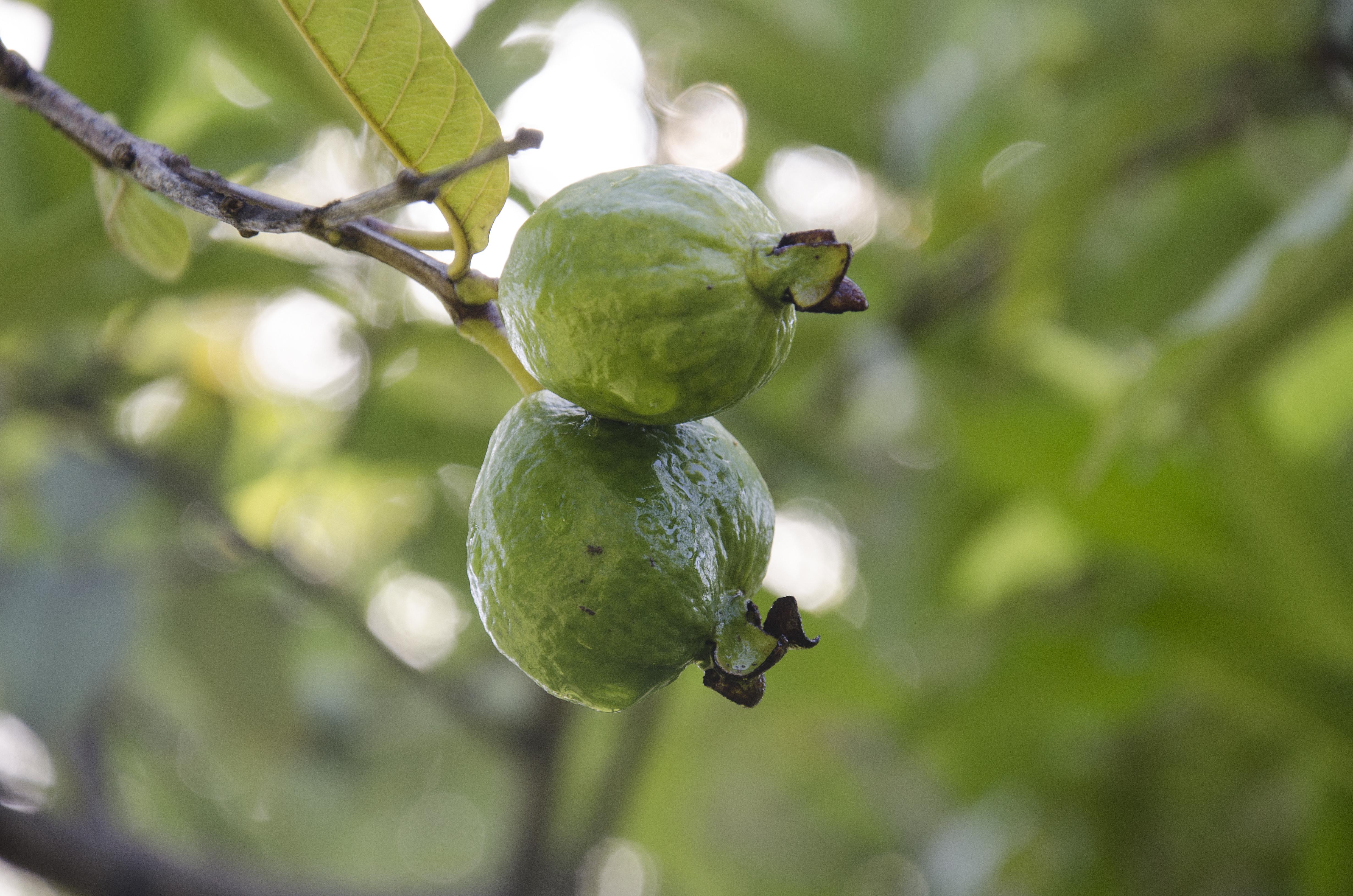 Guava duo