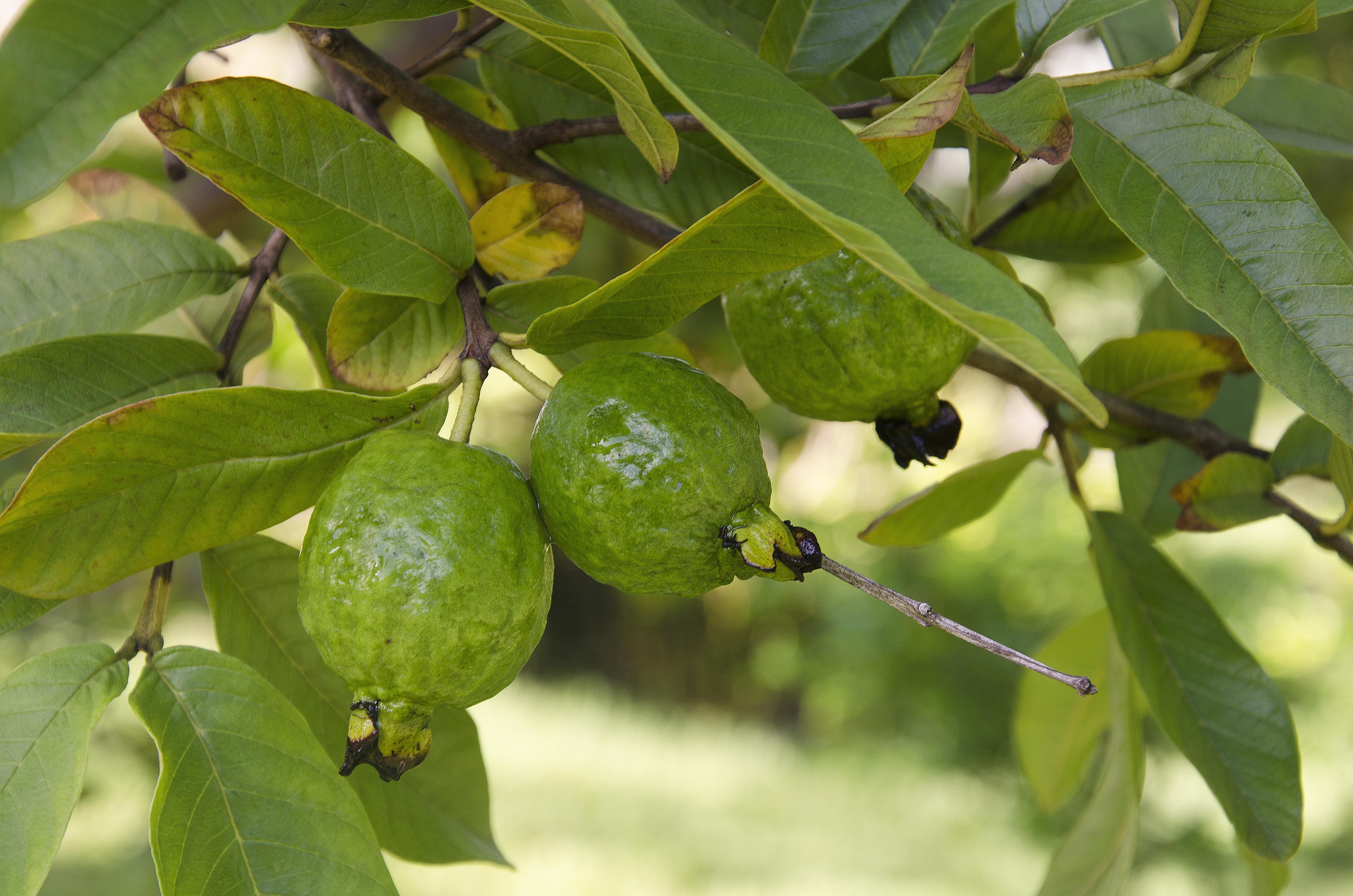 Guava trio
