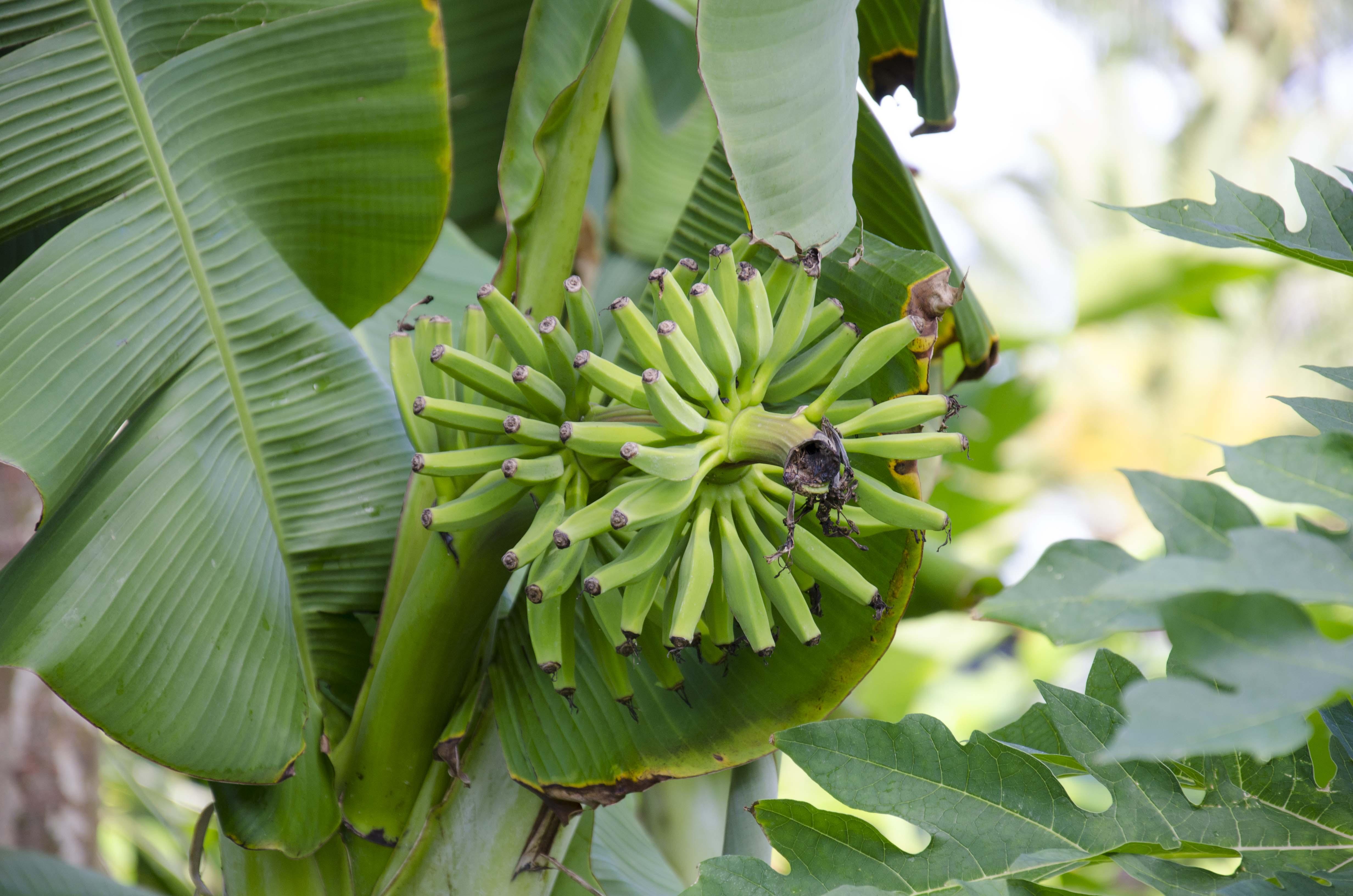Banana stalk 2