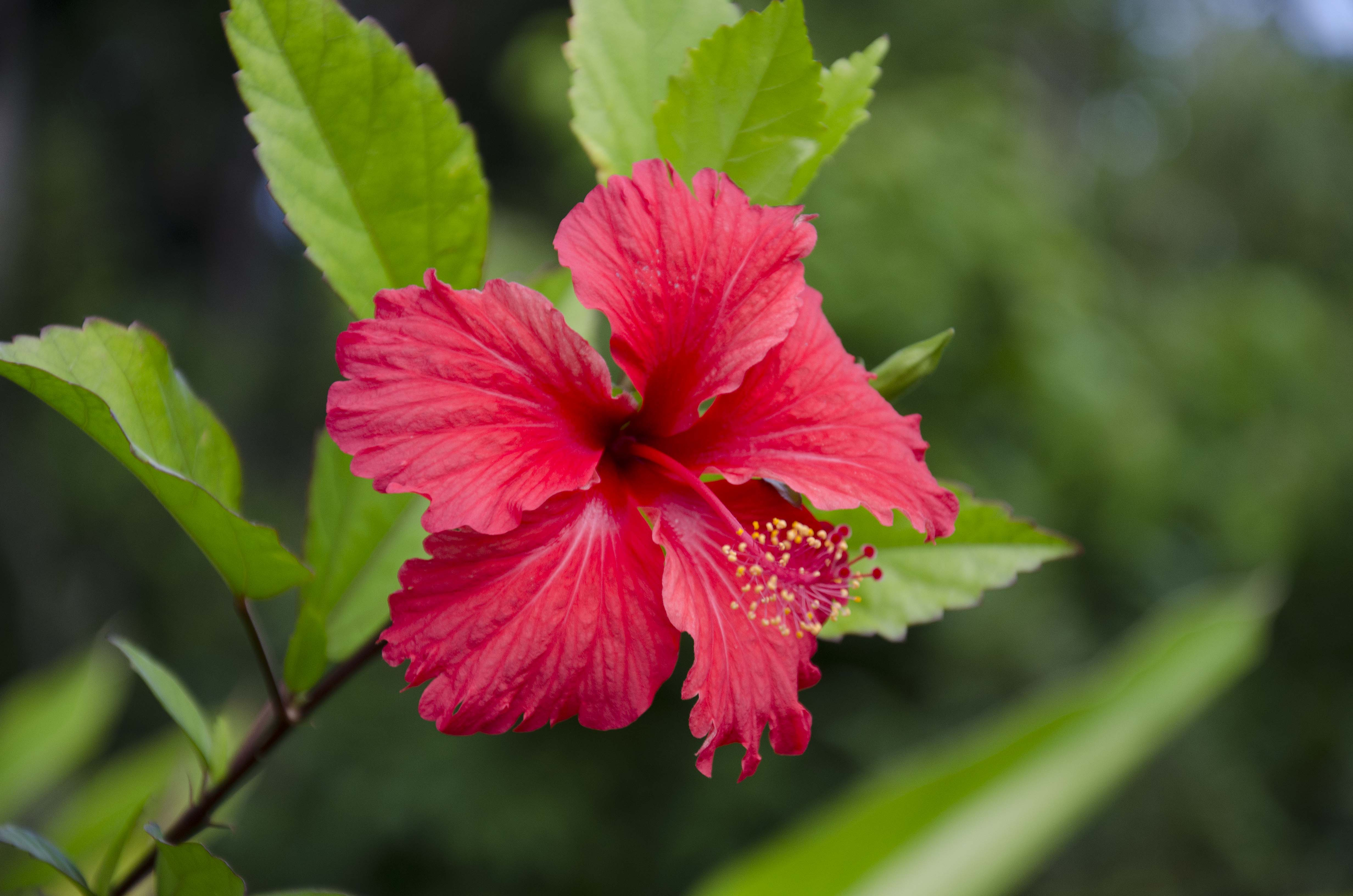 Hibiscus honey the tines that bind hibiscus flower 1 izmirmasajfo