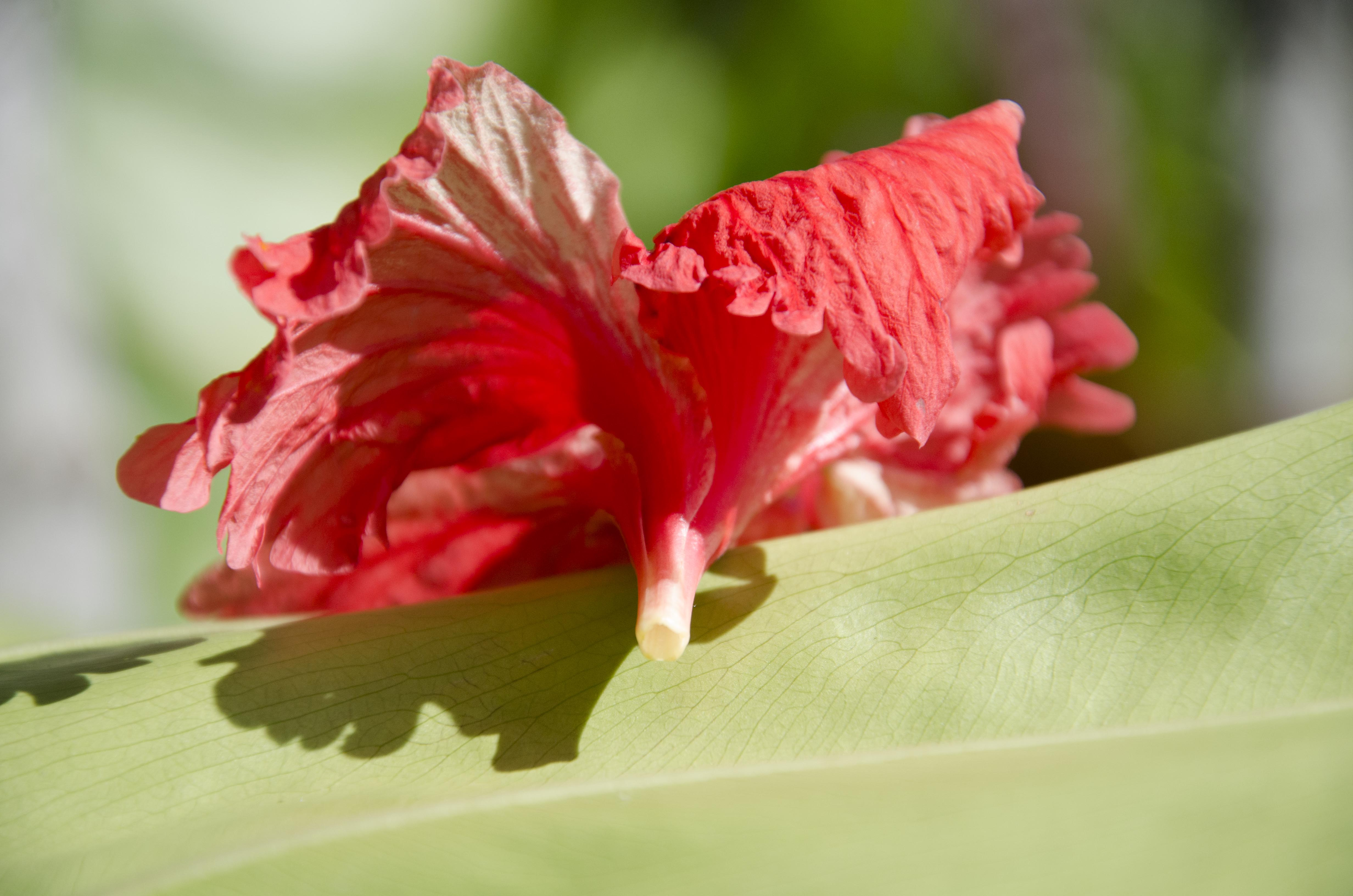 Hibiscus Honey The Tines That Bind