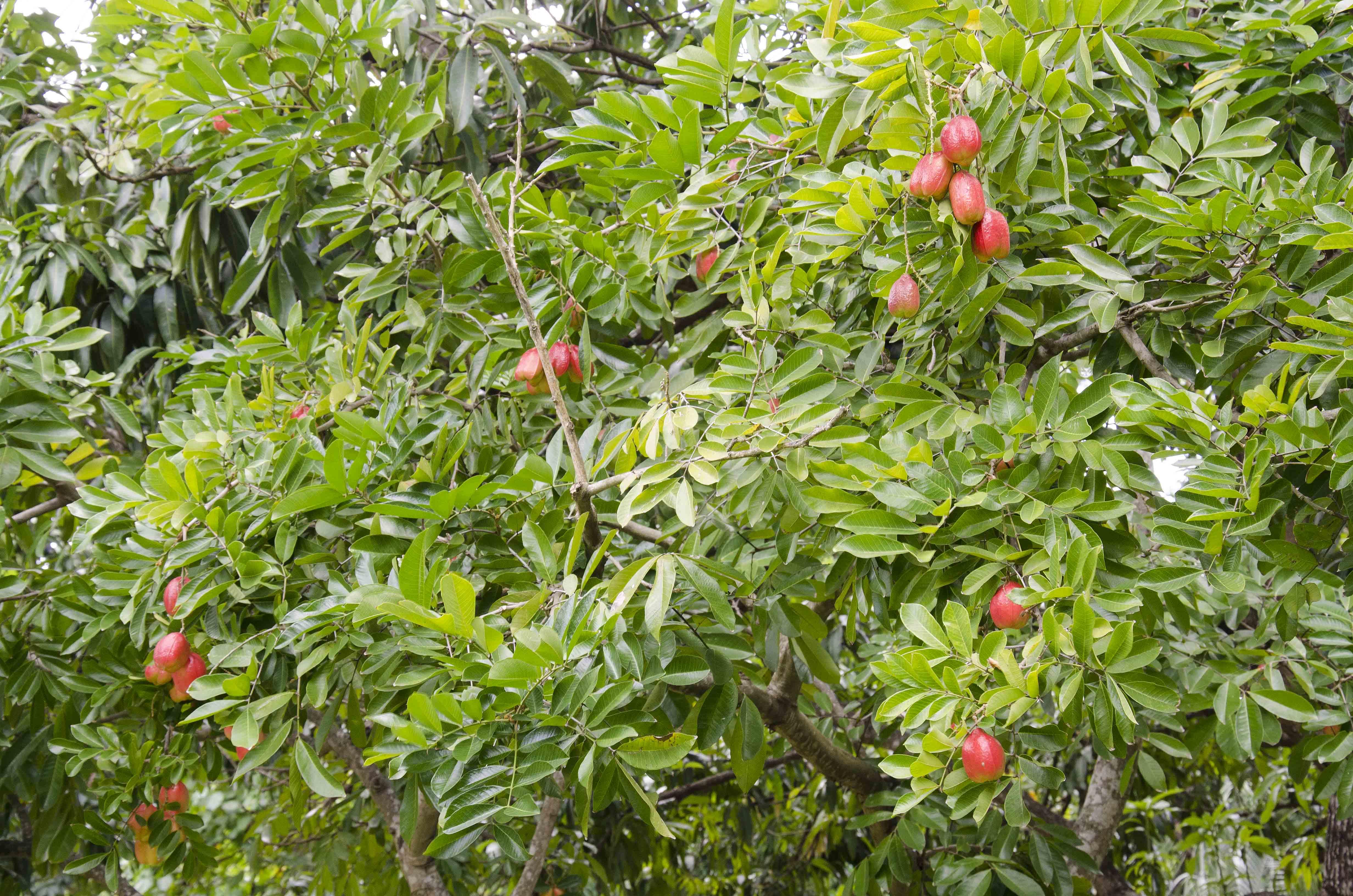 Ackee tree 1