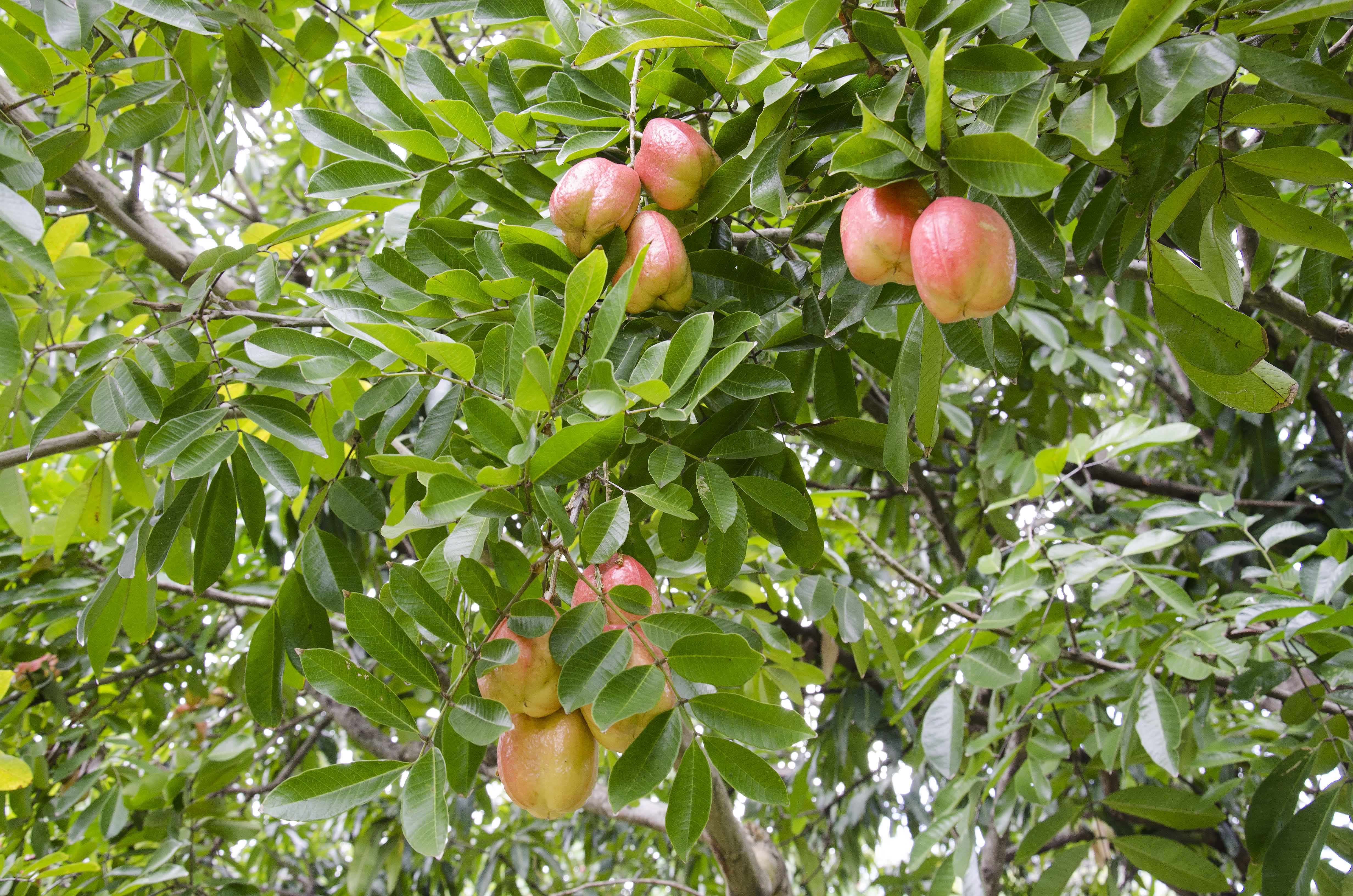 Ackee tree 2, close up