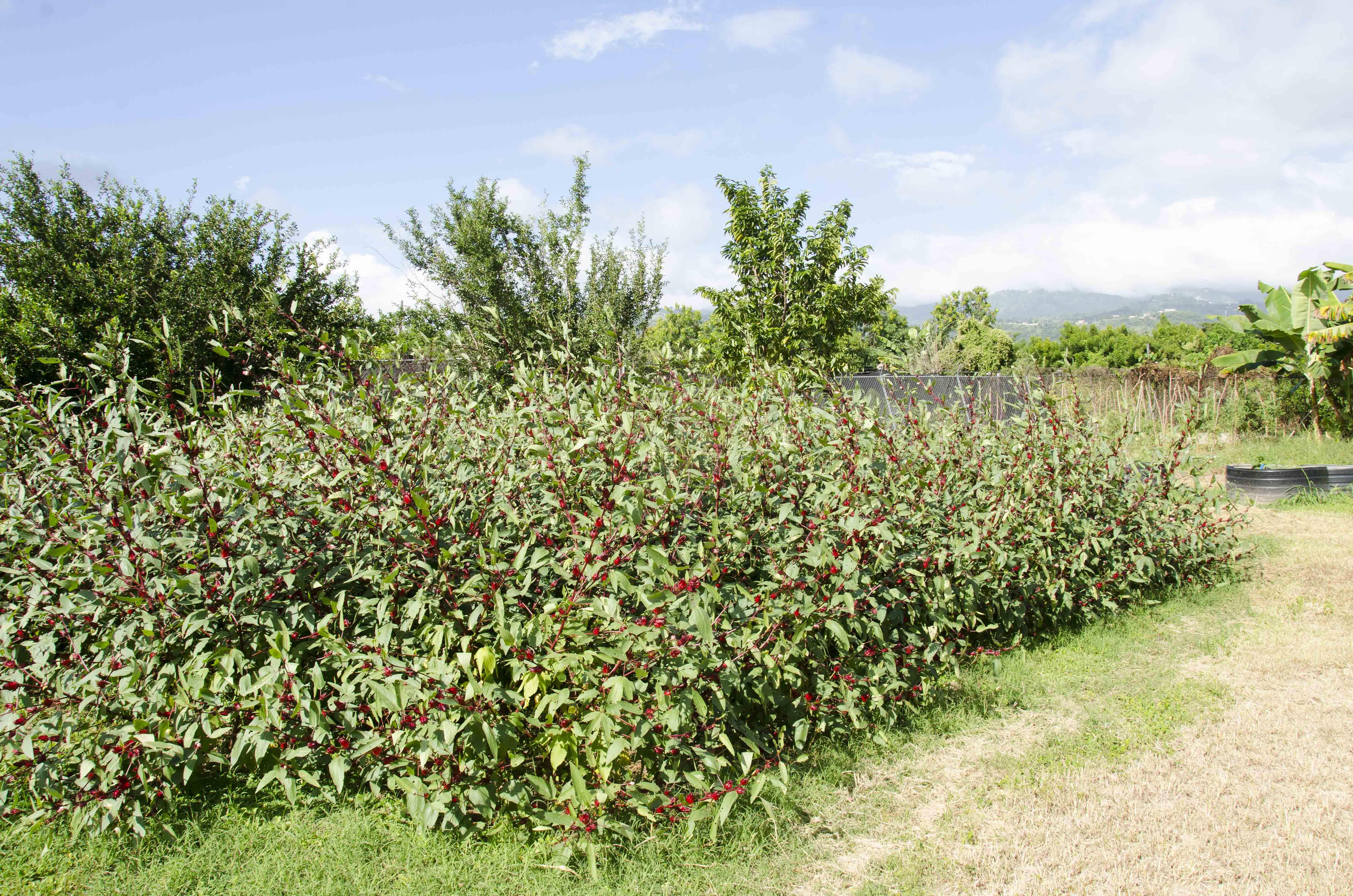 Sorrel grove