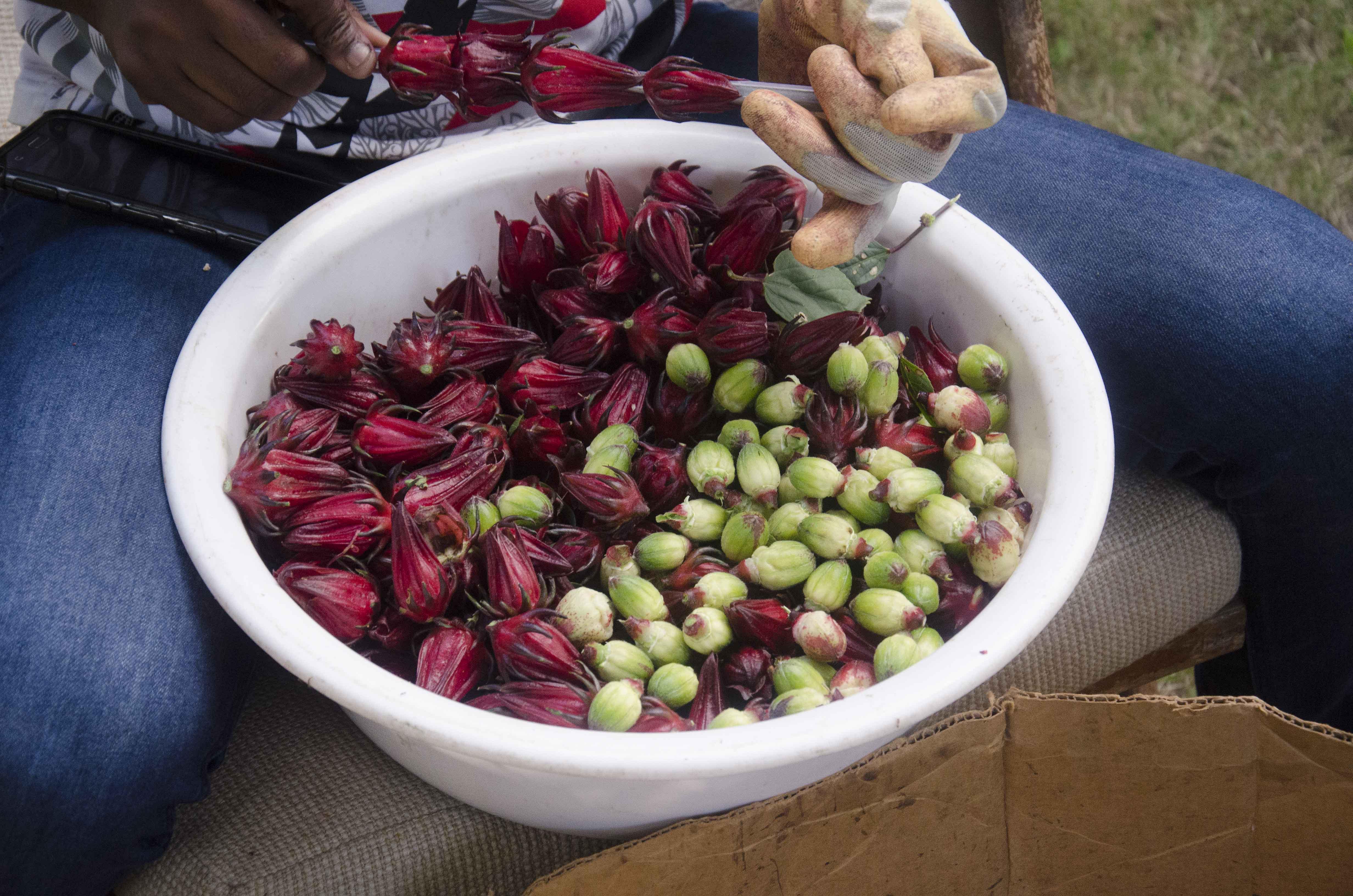 Seeding sorrel 3