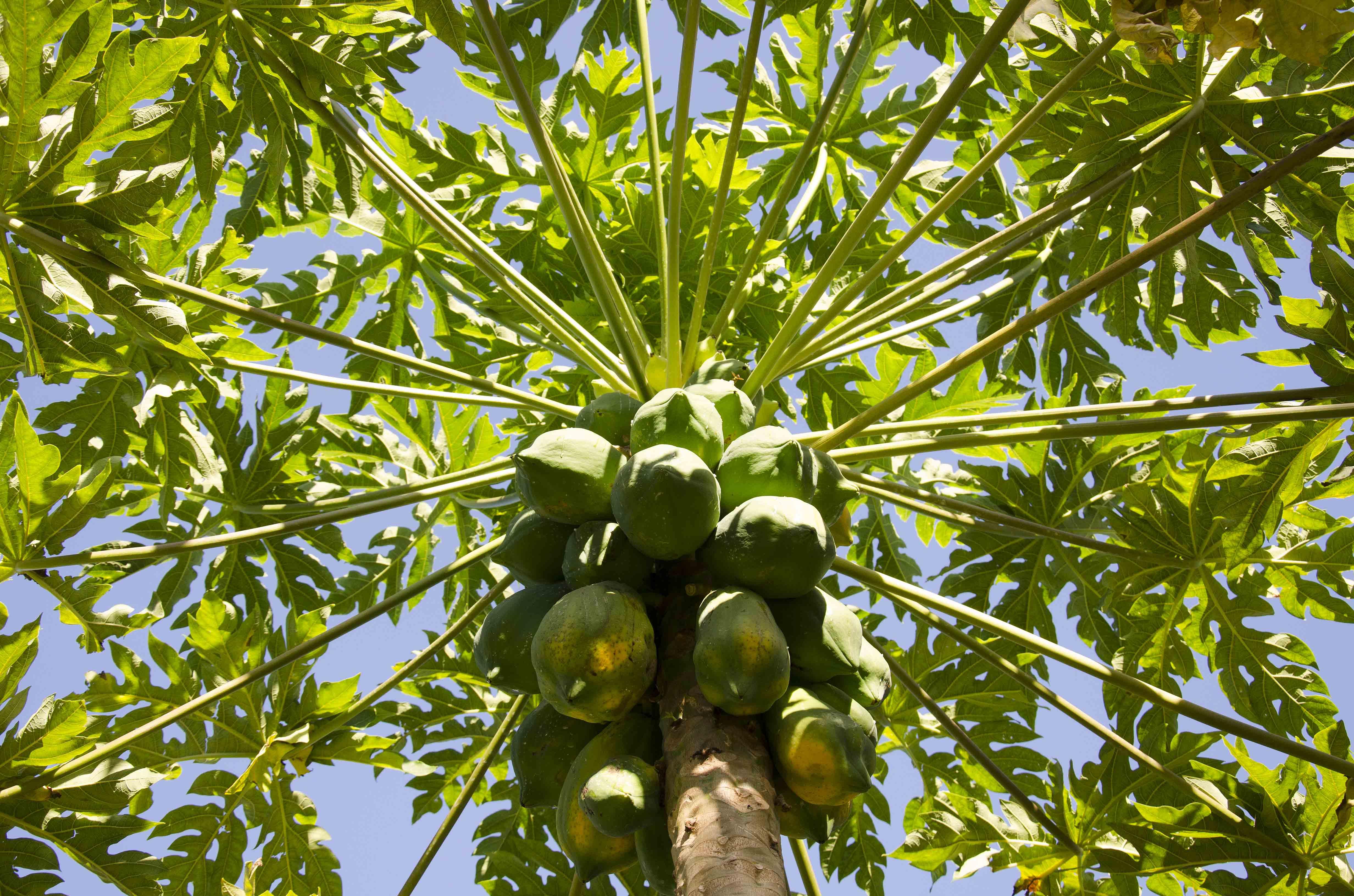 Auntie Moneira's papayas