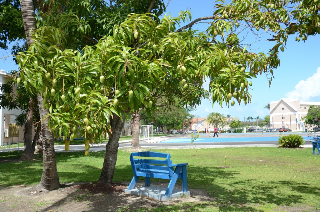 Dale's Mango Tree