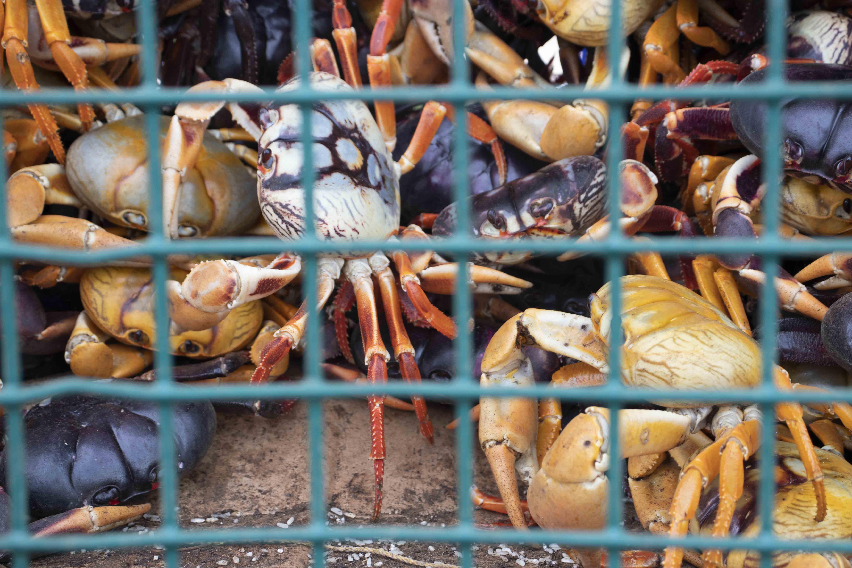 Closeup of black crabs