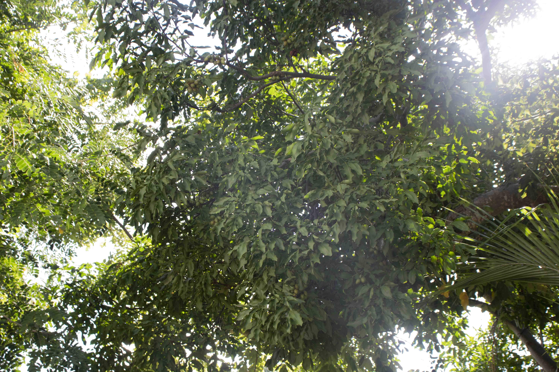 guinep tree